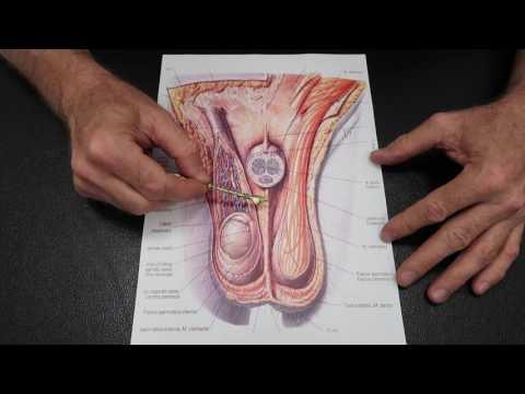Najbezpieczniejszymi penis powiększenie śmietany