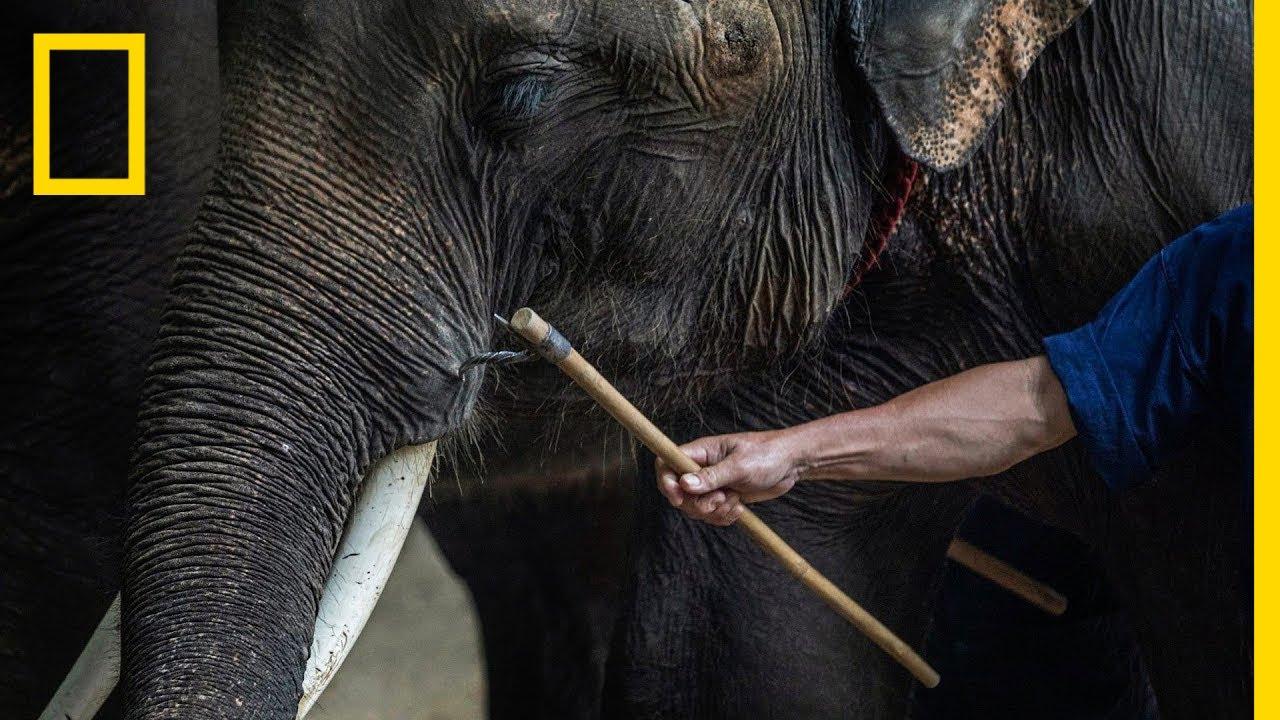 Inside the Dark World of Captive Wildlife Tourism | National Geographic thumbnail