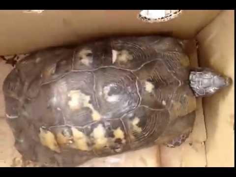 Tansy e assenzio da lyambliya - Piccolo guscio di tartaruga a causa di vermi