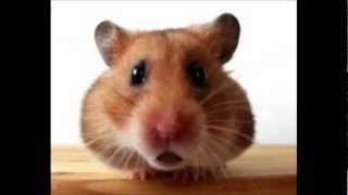 Funny Christmas Songs - Jingle Bells (Waddles the Hamster)