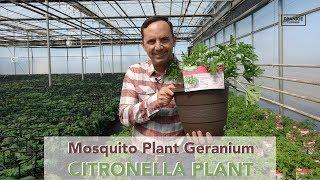 The Citronella Plant