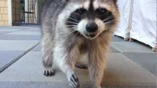 preview picture of video 'Funny Raccoon Cinnamon - Closeup'