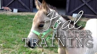 Foal Halter Training