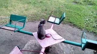 Кошка на поводке. Прогулка с кошкой. Лето 2018