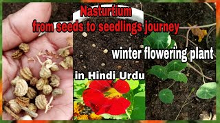 How to Grow Nasturtium from seeds to seedlings/sowing of Nasturtium seeds with one month update