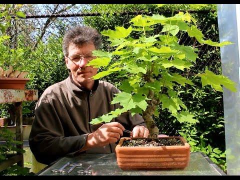 Infus herbal untuk meningkatkan potensi pada pria
