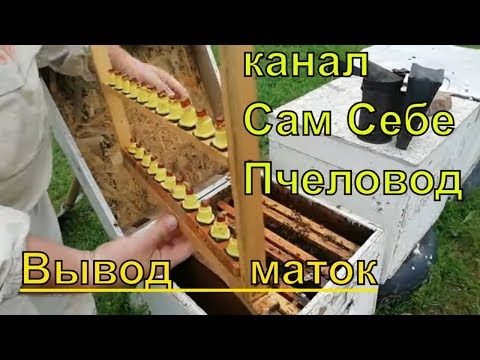 Пчеловодство,вывод маток просто,для начинающих