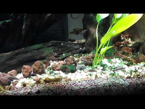 Avannotti pelvicacromis pulcher 6