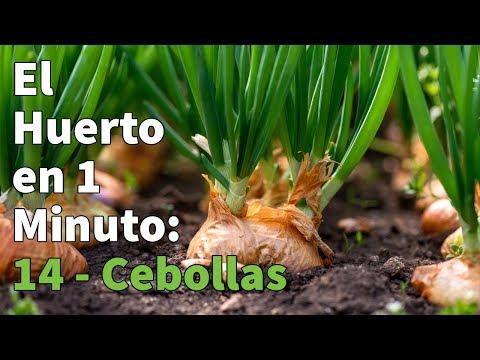 Bolsa de Bulbos de Cebolla de Calçots Ecológicos 2 Kg