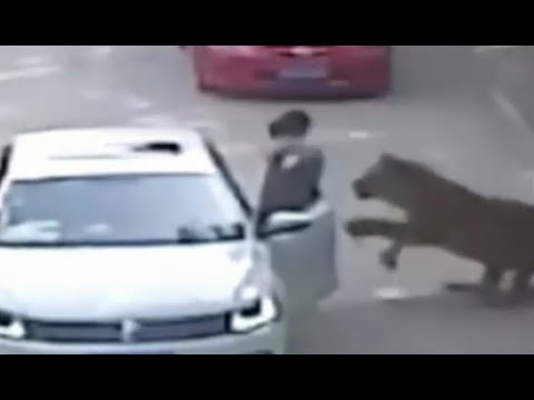 Tiger Attack | Woman Dragged From Car [GRAPHIC VIDEO]