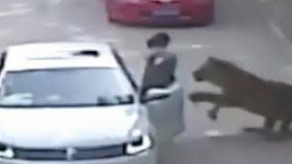 Tiger Attack  Woman Dragged From Car GRAPHIC VIDEO