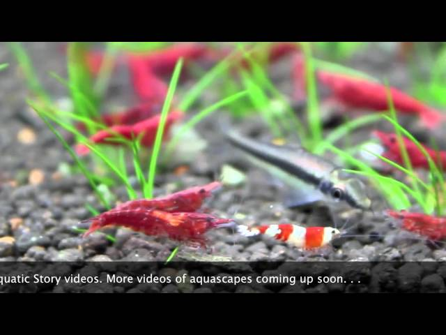 Freshwater Shrimp Aquarium