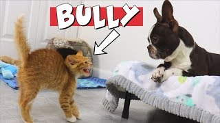 Kittens Wont Stop Bullying Boston Terrier Puppy | TRY NOT TO LAUGH