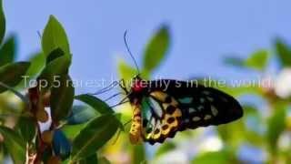 Top 5 rarest butterflies in the world