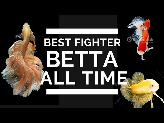 Choose a perfect betta for a good win(Tamil)