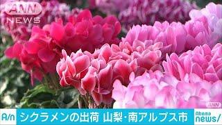 冬の花「シクラメン」クリスマスへ出荷始まる山梨18/11/17