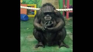 извращенец- шимпанзе, pervert-chimpanzee