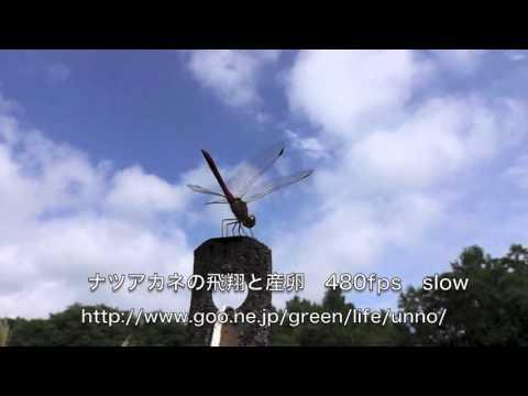 ナツアカネの飛翔と産卵