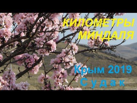 Цветение миндаля, Судак, Крым 26 марта 2019. Километры миндаля: Миндальное - Солнечная Долина