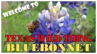 TEXAS WILD | LEARN MORE ABOUT BLUEBONNET | TEXAS STATE FLOWER | LUPINUS texensis | TEACHER PIENAY