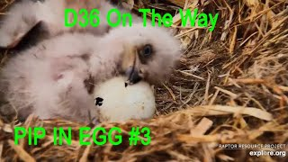 Decorah Eagles~PIP in Egg #3-Beak Is Showing & Moving-D36 On the Way_4.8.20