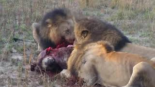 lions eating hyena    1狮子吃鬣狗