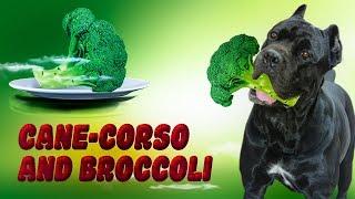 Cane Corso and Broccoli.#canecorso