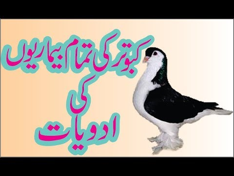 , title : 'Pigeon {kaboter} Treatment for all diseases and vaccination in  urdu hindi tips
