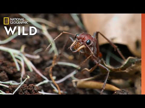 The Australian Bull-Ant   10 Animals that Can Kill You
