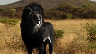 Descargar MP3 de IS THE BLACK LION REAL?