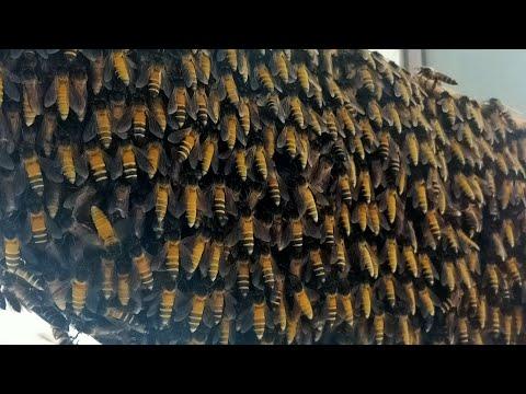 , title : 'Giant honey bees. 5 colonies on 1  tree.Apis Dorsata. 五窩一樹的大排蜂.Madu Tualang.