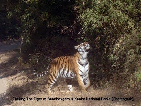 Trailing The Tiger At Bandhavgarh & Kanh
