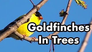 Goldfinches Chirping In Trees