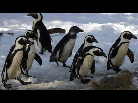 Νότια Αφρική: Οι πιγκουίνοι νιώθουν μοναξιά λόγω του COVID-19…