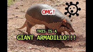 Wow! This Is a Giant Armadillo in Brazil || GoViral
