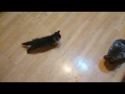 Котенок атакует Анфиску со спины.)