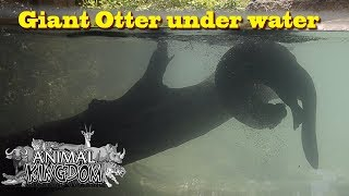 Giant Otter playing under water   Zoo Miami