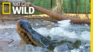 See 'Frozen' Alligators Breathing Through Ice to Survive | Nat Geo Wild