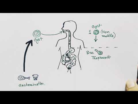 Az apicomplexan paraziták szerkezete