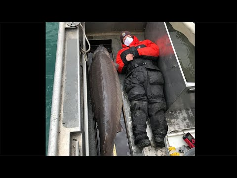 Nearly 7-foot, 240-pound lake sturgeon caught in Detroit River believed to be 100+ years old