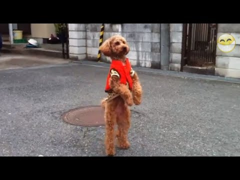 Funny Animals Walking Like Humans