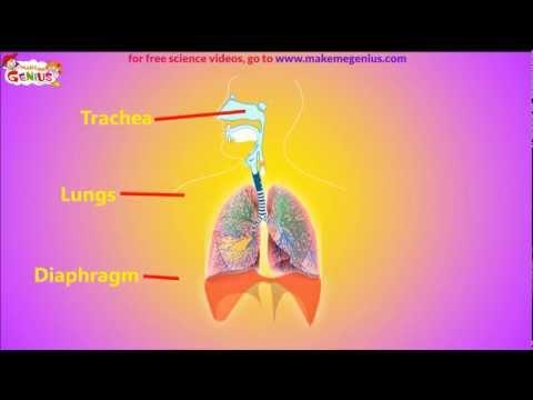How Air Pressure helps in Breathing ?