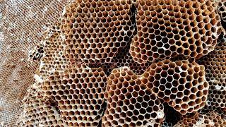 Yellow Jacket SUPER NEST | Wasp Nest Removal | Wasp INFESTATION