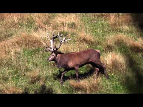 2019 The Choice – Show 8 – Leithen Valley Hunts – NZ Red Stag – part 2