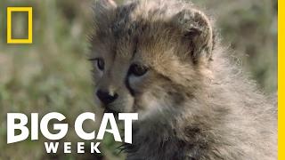 Cheetah Cubs First Adventure | Big Cat Week