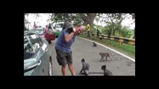 preview picture of video 'Kuala Selangor 2012 Silverleaf Monkeys'