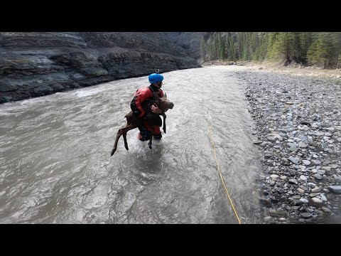 Baby Moose Rescued From Drowning by Brave Kayakers