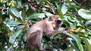 preview picture of video 'Monkey eating fruit at Abuko, The Gambia'