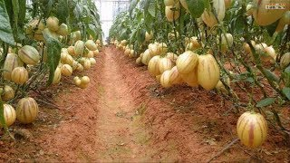 WOW! Amazing Agriculture Technology   Pepino Melon
