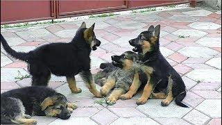 Банда щенков немецкой овчарки. Puppies German Shepherd Dog and owner. Одесса.